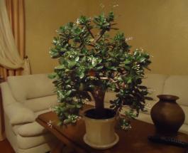 Куда поставить в доме денежное дерево чтобы оно привлекало финансовое благополучие