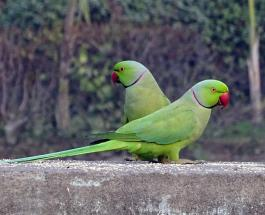 Захватывающее видео: сотни попугаев прилетают на террасу жилого дома в Индии каждый день
