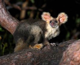 Ученые обнаружили в Австралии два новых вида сумчатых