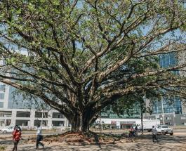 100-летнее дерево инжира спасено от вырубки специальным указом президента Кении
