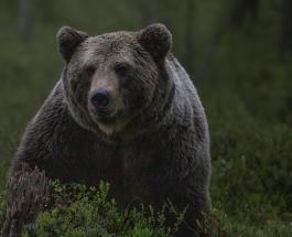 Волки-роботы со светящимися глазами используются в Японии для отпугивания медведей: видео