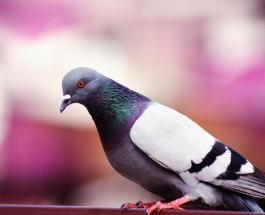 Гоночный голубь из Бельгии продан на аукционе за рекордную сумму
