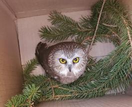 """Рождественское """"чудо"""": в США спасли сову прятавшуюся на елке в торговом центре"""