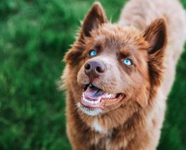 Сибирский хаски редкого окраса стал звездой Сети: фото красивого пса похожего на волка