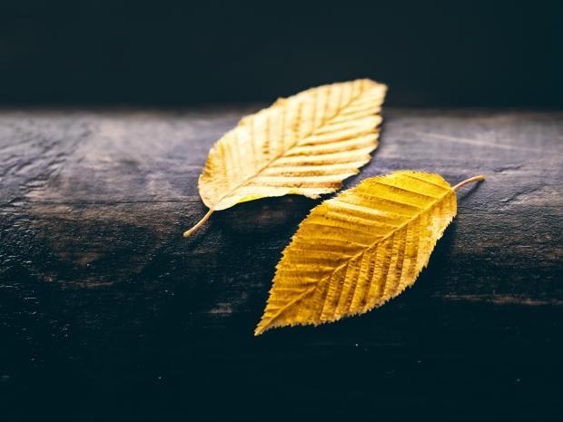 Два желтых листка на темном дереве