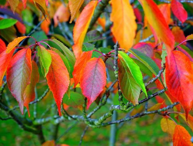 Осенние листья винограда на лозе