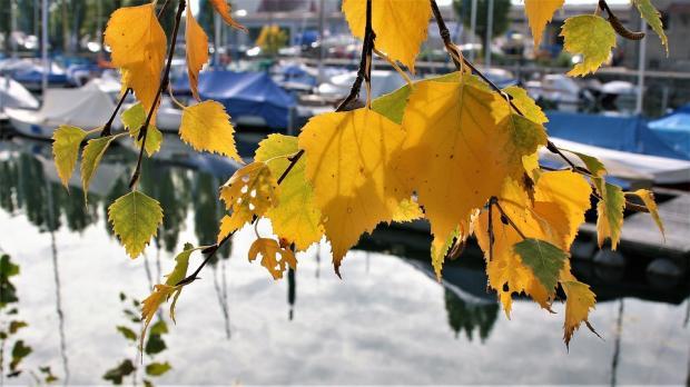 ветка в осенними березовыми листьями