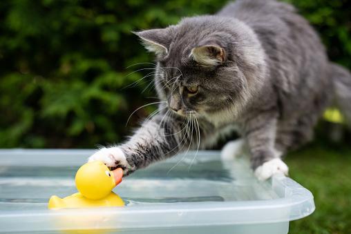 кошка играет плавающей в ванне уточкой