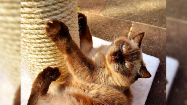 британская кошка лежит рядом с когтеточкой