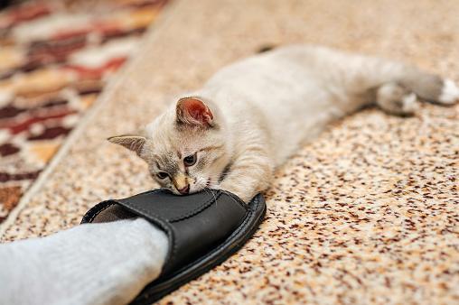 кошка кусает мужчину за ноги в тапке