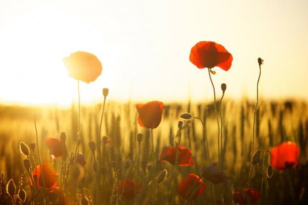 поле с цветущими маками