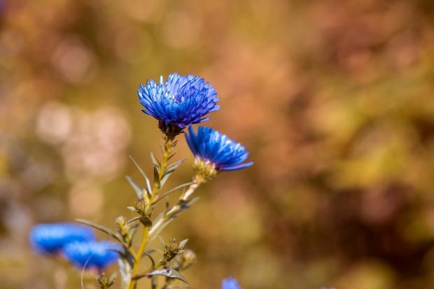 цветок голубого цвета