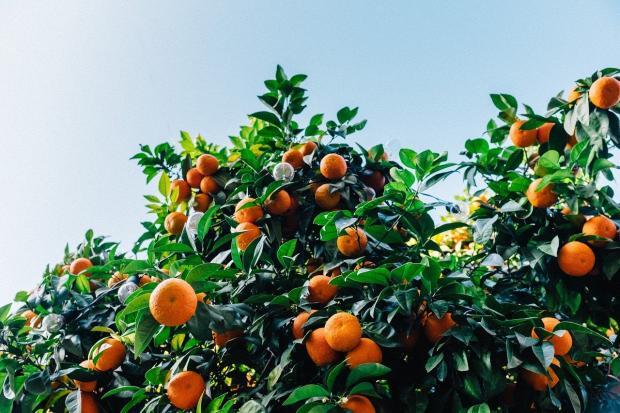 усыпанное спелыми мандаринами дерево