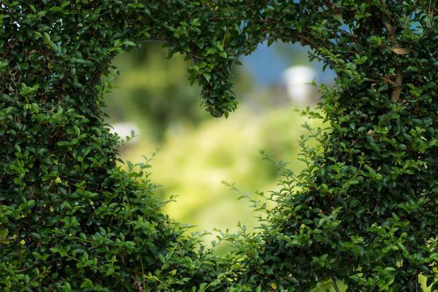 сердце, вырезанное в зеленой изгороди