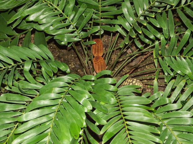 комнатный цветок замия