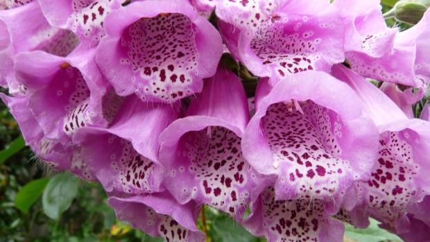 цветок наперстянка