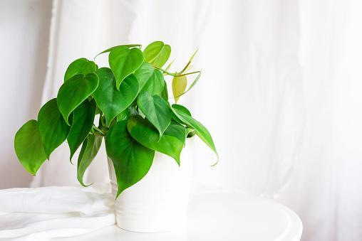 домашний цветок филодендрон