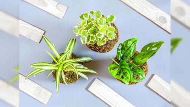 комнатные растения - украшения домашнего интерьера