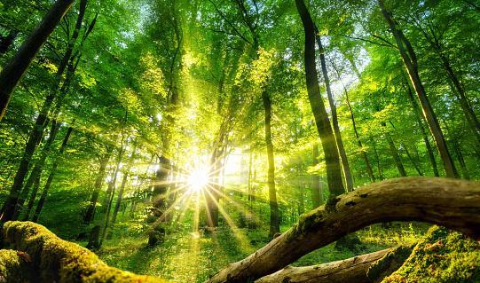 солнечные лучи пробиваются сквозь лесную чащу