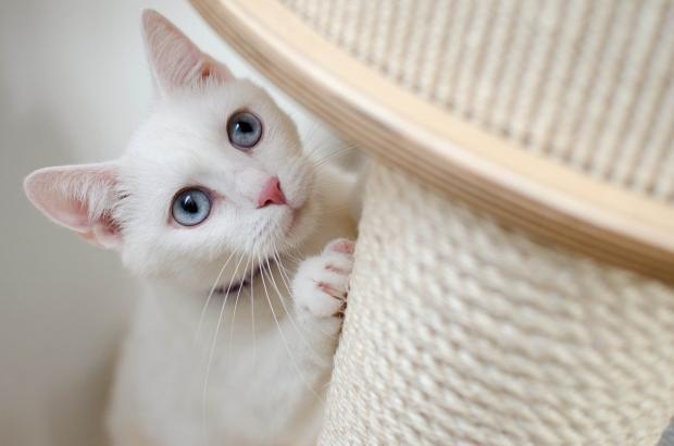 белая кошка рядом с когтеточкой