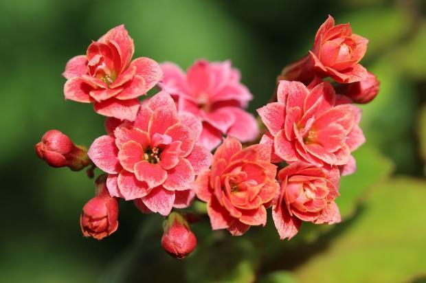 комнатный цветок каланхоэ