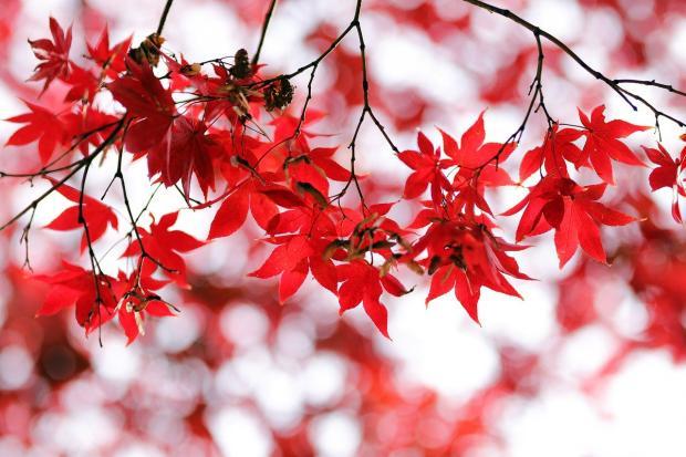 осенние листья красного цвета