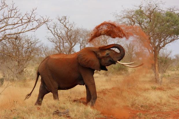 Слон осыпает себя грязью