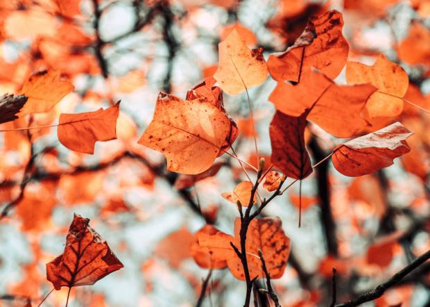 Яркие оранжевые листья на ветках деревьев