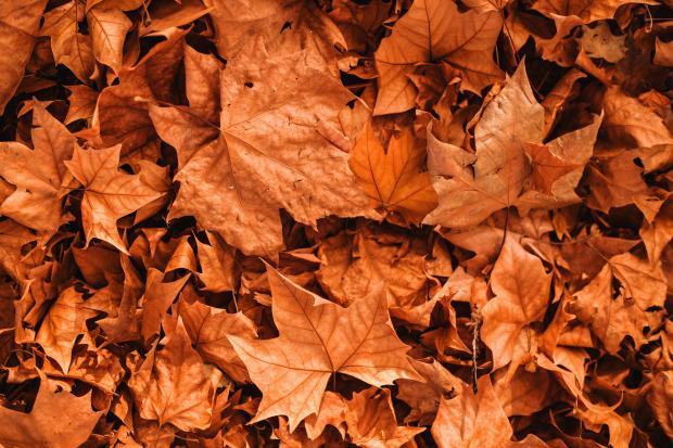 Оранжевые осенние листья