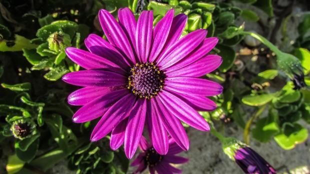 фиолетовая домашняя гербера