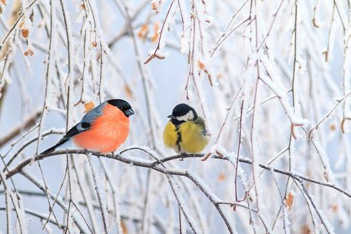 на одной заснеженной ветке сидят снегирь и синица