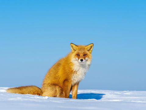 рыжая лисица на снегу