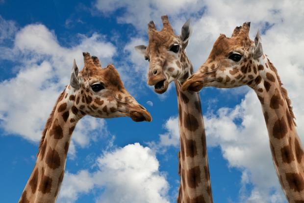 три жирафа общаются