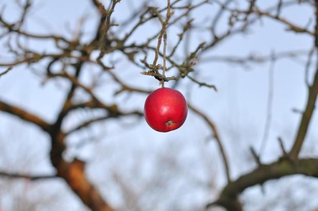 одинокое красное яблоко висит на осенней ветке