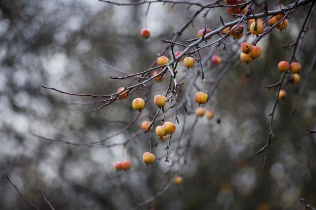 голые осенние ветви в осеннем саду с редкими плодами