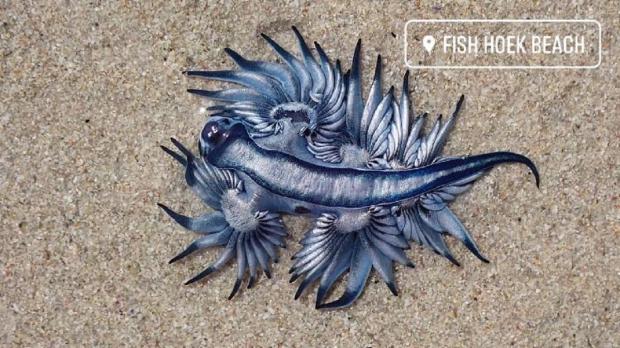 моллюск синий дракон