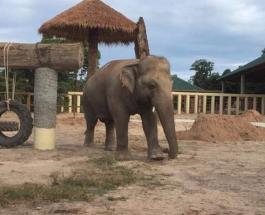 Самый одинокий слон обрел новый дом: знакомство Каваана с Камбоджей