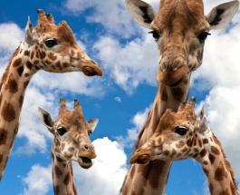 В Кении спасли жирафа исчезающего вида с острова который скоро скроется под водой