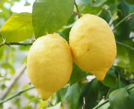 Вырастить лимонное дерево дома легко: этапы посадки и уход за цитрусовым растением