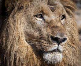 Несколько львов из зоопарка Испании дали положительный результат на Covid-19