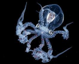 В Китае обнаружили прозрачного осьминога мозг которого можно увидеть невооруженным глазом