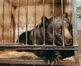 История спасения самой одинокой медведицы: 11-летняя Джамболина сможет найти новых друзей