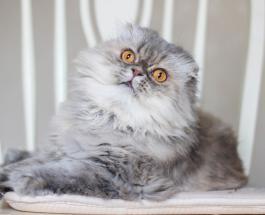 Самые пушистые породы кошек: пользователи сети делятся снимками лохматых питомцев
