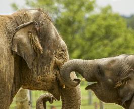Милое видео слона играющего с младшим братом растрогало пользователей сети