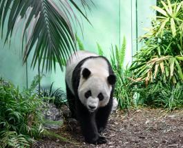 Самая старая панда в мире умерла в китайском зоопарке в возрасте 38 лет