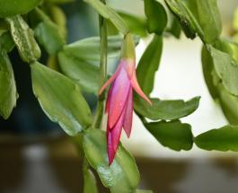 Как ухаживать за декабристом: полезные советы для любителей красивого растения