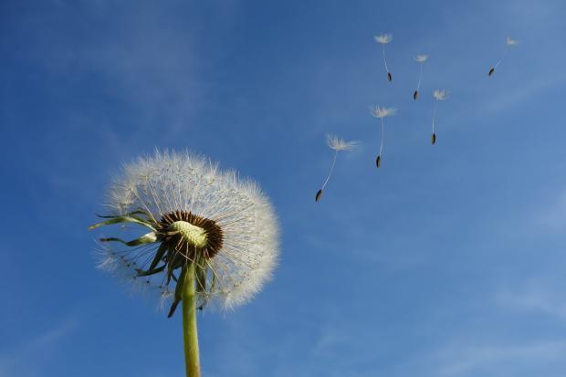 одуванчик на фоне голубого неба