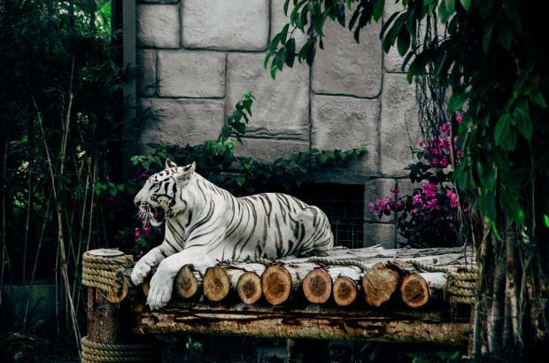 на бревнах лежит белый тигр