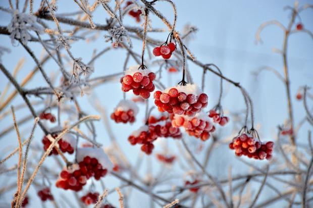 дерево рябины в снегу