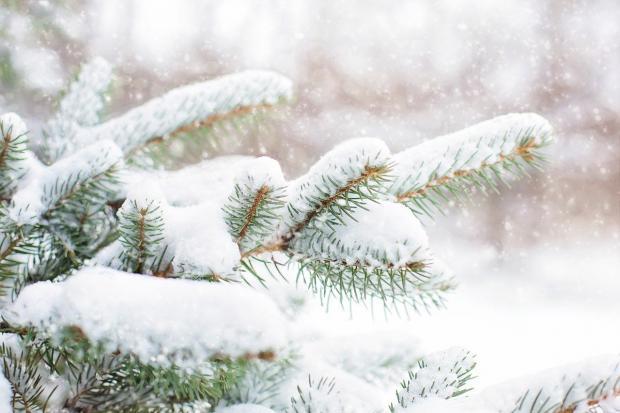 ветви сосны с лежащим на ней снегом